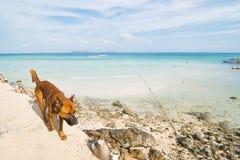 Κόκκινο σκυλί στην παραλία Στοκ εικόνες με δικαίωμα ελεύθερης χρήσης