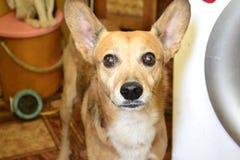 Κόκκινο σκυλί Στοκ φωτογραφία με δικαίωμα ελεύθερης χρήσης