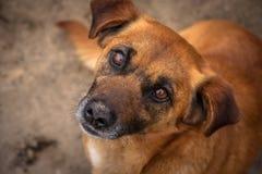Κόκκινο σκυλί στοκ φωτογραφίες με δικαίωμα ελεύθερης χρήσης