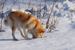 Κόκκινο σκυλί στοκ φωτογραφία