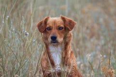 Κόκκινο σκυλί Στοκ Φωτογραφίες