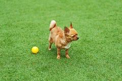Κόκκινο σκυλί chihuahua στην πράσινη χλόη Στοκ Φωτογραφίες