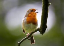 Κόκκινο στήθος της Robin Στοκ Εικόνα