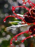 Κόκκινο σταγονίδιων βροχής λουλουδιών στοκ εικόνα με δικαίωμα ελεύθερης χρήσης