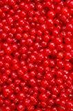 κόκκινο σταφίδων Στοκ Εικόνες