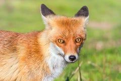 Κόκκινο στενό επάνω πορτρέτο Vulpes αλεπούδων vulpes στοκ εικόνες