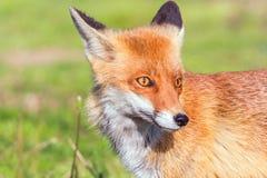 Κόκκινο στενό επάνω πορτρέτο Vulpes αλεπούδων vulpes στοκ φωτογραφίες