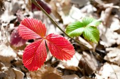 Κόκκινο στην εστίαση και πράσινος μερικώς στα φύλλα εστίασης των άγριων φραουλών στο υπόβαθρο της αποχρωματισμένης κάλυψης χλόης στοκ εικόνες