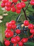 Κόκκινο στη φύση Στοκ εικόνες με δικαίωμα ελεύθερης χρήσης