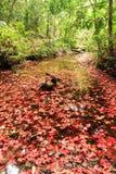 κόκκινο σφενδάμνου φύλλων πτώσης Στοκ Εικόνα