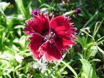 Κόκκινο τουρκικό λουλούδι γαρίφαλων Στοκ Εικόνες