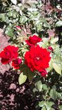 Κόκκινο κόκκινο τριαντάφυλλων στοκ φωτογραφίες με δικαίωμα ελεύθερης χρήσης