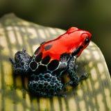 Κόκκινο τροπικό δάσος του Περού βατράχων βελών δηλητήριων Στοκ εικόνα με δικαίωμα ελεύθερης χρήσης