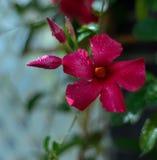 Κόκκινο τροπικό λουλούδι με τον οφθαλμό και τη δροσιά στοκ φωτογραφία με δικαίωμα ελεύθερης χρήσης