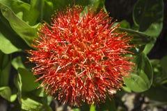 Κόκκινο τροπικό λουλούδι στο φυσικό υπόβαθρο Στοκ εικόνες με δικαίωμα ελεύθερης χρήσης