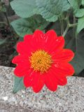 Κόκκινο τροπικό λουλούδι Στοκ εικόνα με δικαίωμα ελεύθερης χρήσης