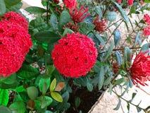 Κόκκινο τροπικό λουλούδι Στοκ Φωτογραφία