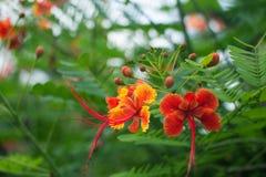 Κόκκινο τροπικό pulcherrima Caesalpinia λουλουδιών Στοκ Εικόνες