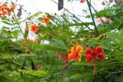 Κόκκινο τροπικό pulcherrima Caesalpinia λουλουδιών Στοκ Φωτογραφία