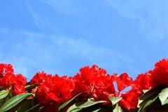 Κόκκινο υπόβαθρο λουλουδιών και μπλε ουρανού Στοκ εικόνες με δικαίωμα ελεύθερης χρήσης