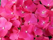 Κόκκινο υπόβαθρο λουλουδιών Στοκ Φωτογραφίες