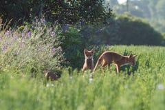 Κόκκινο φίλημα αλεπούδων Στοκ Εικόνες