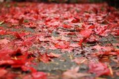 Κόκκινο φθινόπωρο Στοκ Φωτογραφία