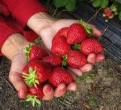 Κόκκινο φραουλών στο χέρι του κοριτσιού Στοκ Εικόνες