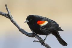 Κόκκινο φτερωτό αρσενικό κοτσύφων Στοκ Φωτογραφίες