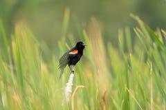 Κόκκινο φτερωτό μαύρο πουλί στις χλόες Στοκ εικόνα με δικαίωμα ελεύθερης χρήσης