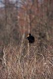 Κόκκινο φτερωτό μαύρο πουλί 1 Στοκ Εικόνα