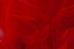 Κόκκινο φτερό Στοκ Εικόνες