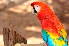 Κόκκινο φτερό macaw ή πουλί παπαγάλων στο τροπικό άγριο υπόβαθρο Στοκ εικόνα με δικαίωμα ελεύθερης χρήσης