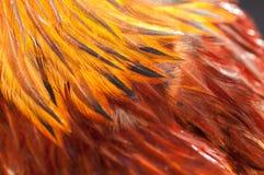 Κόκκινο φτερών κοκκόρων σύστασης Στοκ Εικόνα