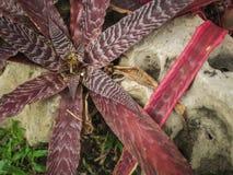Κόκκινο φυτό φύλλων λουλουδιών χλωρίδας στο δάσος με την πέτρα Στοκ Εικόνες