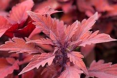 κόκκινο φυτών Στοκ Εικόνες