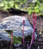 κόκκινο φυτών Στοκ φωτογραφία με δικαίωμα ελεύθερης χρήσης