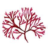 Κόκκινο φύκι, kelp στον ωκεανό, χρωματισμένο χέρι στοιχείο watercolor που απομονώνεται στο άσπρο υπόβαθρο Κόκκινη απεικόνιση δ φυ διανυσματική απεικόνιση