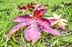 Κόκκινο φύλλο σε έναν πράσινο χορτοτάπητα στοκ φωτογραφία με δικαίωμα ελεύθερης χρήσης