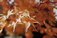 Κόκκινο φύλλο στην Ιαπωνία στοκ φωτογραφία με δικαίωμα ελεύθερης χρήσης