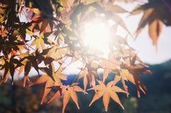 Κόκκινο φύλλο στην Ιαπωνία στοκ εικόνα