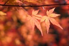 Κόκκινο φύλλο σφενδάμου φθινοπώρου στροφής Στοκ Εικόνα