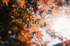 Κόκκινο φύλλο της Ιαπωνίας στοκ φωτογραφία με δικαίωμα ελεύθερης χρήσης