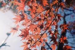 Κόκκινο φύλλο της Ιαπωνίας στοκ εικόνες