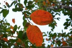 Κόκκινο φύλλο το φθινόπωρο Στοκ Φωτογραφία