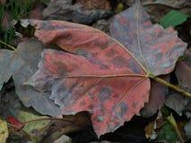 Κόκκινο φύλλο φθινοπώρου Στοκ Φωτογραφία