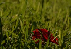 Κόκκινο φύλλο Στοκ Φωτογραφία