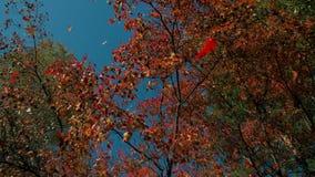 Κόκκινο φύλλωμα πτώσης που εμπίπτει μακριά στο δάσος φθινοπώρου την ηλιόλουστη ημέρα Δονούμενο φύλλο που πέφτει αργά προς το έδαφ φιλμ μικρού μήκους