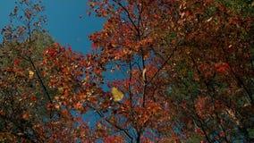 Κόκκινο φύλλωμα πτώσης που εμπίπτει μακριά στο δάσος φθινοπώρου την ηλιόλουστη ημέρα Δονούμενο φύλλο που πέφτει αργά προς το έδαφ απόθεμα βίντεο