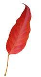 κόκκινο φύλλων Στοκ Εικόνες